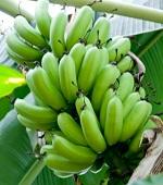 黄色より便秘解消効果が高い青いバナナ